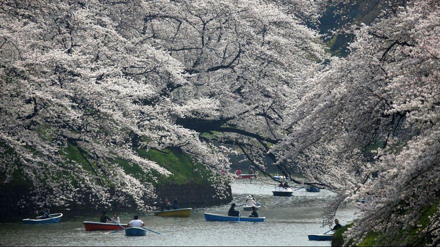 جشنواره شکوفههای گیلاس در ژاپن