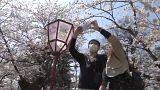 Japanischer Kirschblüten-Kult