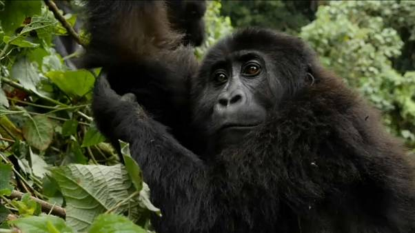 Veszélyben a kongói gorillapopuláció