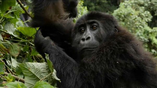 Guardas florestais arriscam a vida para salvar gorilas