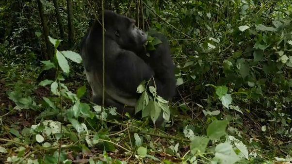 El gorila de Grauer está en peligro crítico de extinción