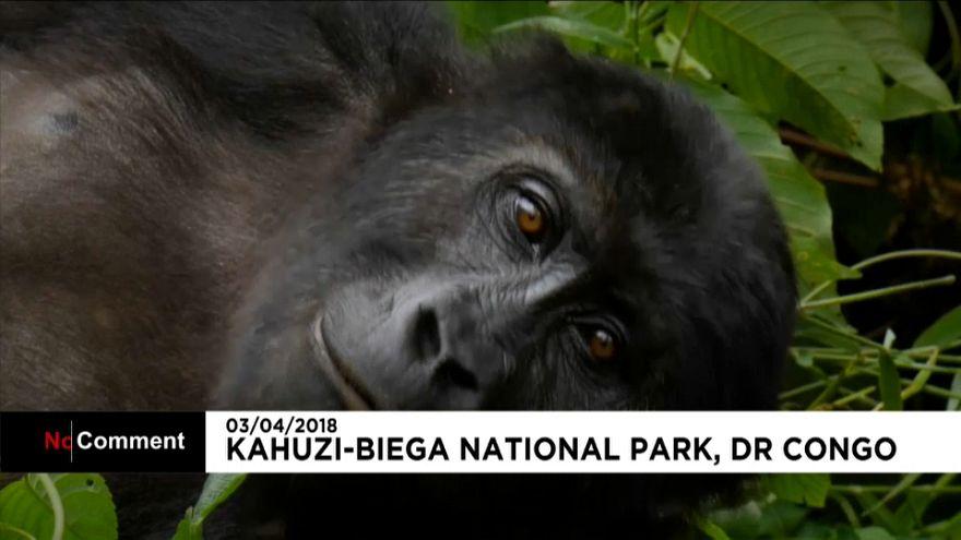Les gorilles menacés en RDC