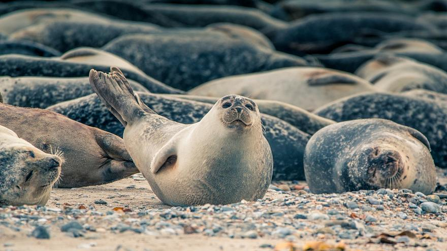 300 Robben vor deutscher Ostseeküste gesichtet: Droht eine Plage?