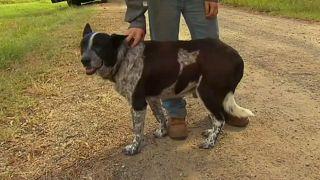 كلب أصم ونصف أعمى ينقذ طفلة بأدغال أستراليا