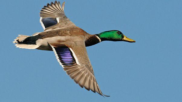 پلیس نامحسوس سوئیس اردک قانونشکن را شناسایی کرد