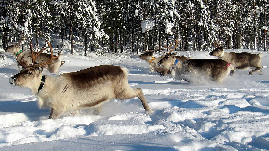 The reindeer herd are ready to move uphill