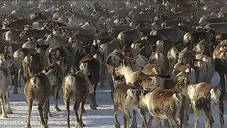 En Suède, la longue transhumance des rennes