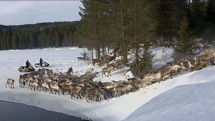 قطعان الرنة تودع الشتاء