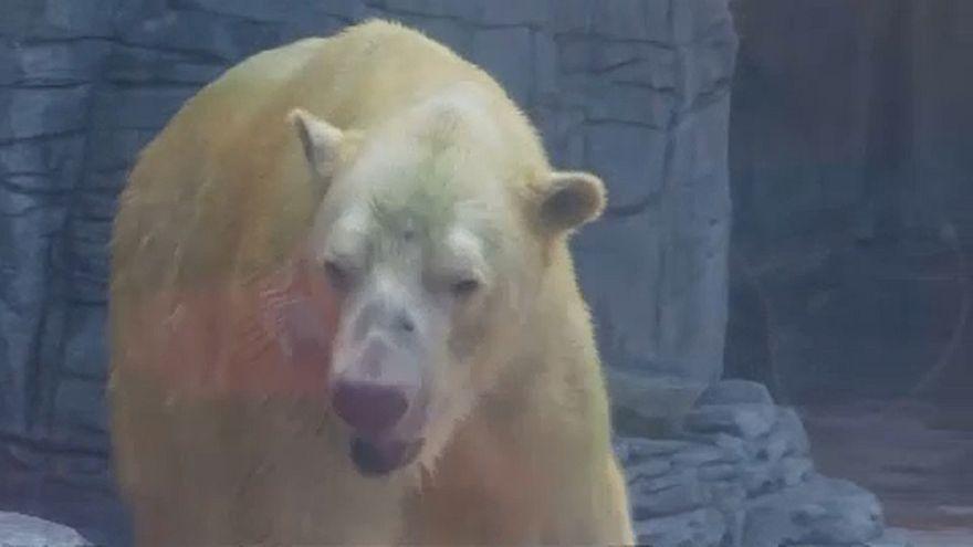 Elment a világ leghíresebb jegesmedvéje