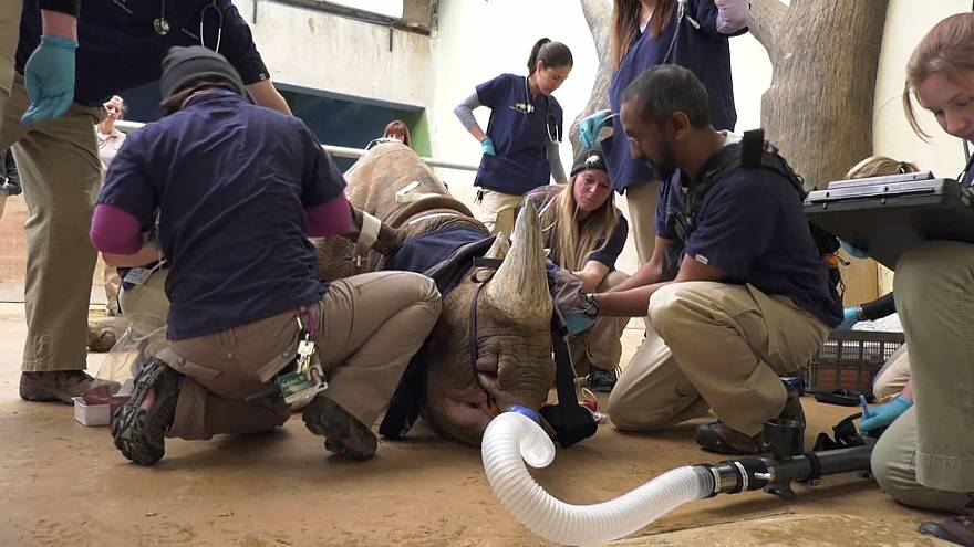 Лечение носорога в Брукфилдском зоопарке