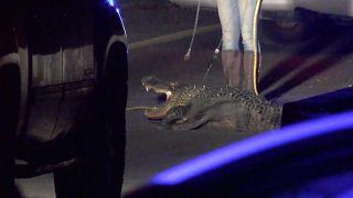 Autobahn wegen brünstigem Alligator gesperrt