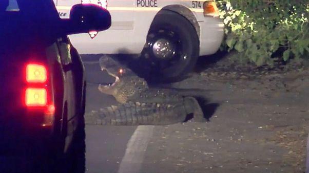 تمساح سرگردان در جادههای کارولینای جنوبی