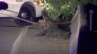 alligator caused a road closure