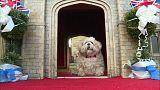 شاهد: كلب مدلل يحصل على قلعة ويندسور كمأموى له