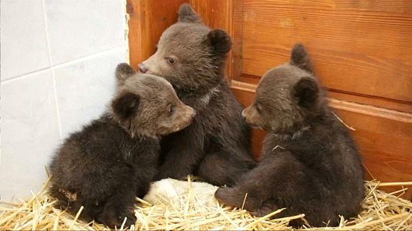 Three little bears find sanctuary in Bulgaria