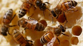 Environmentalists buzzing after EU bans 'bee-harming pesticides'