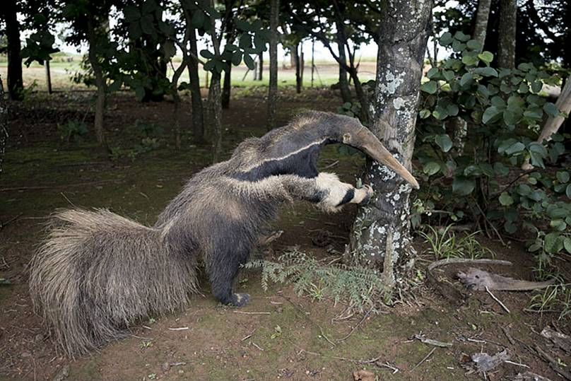 Winning Wildlife Photo Disqualified Because Anteater Was Stuffed
