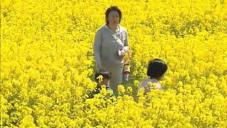 شاهد: متاهة عملاقة من زهور الكانولا في مقاطعة الكارثة النووية باليابان