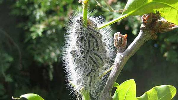 Toxic caterpillar outbreak in London