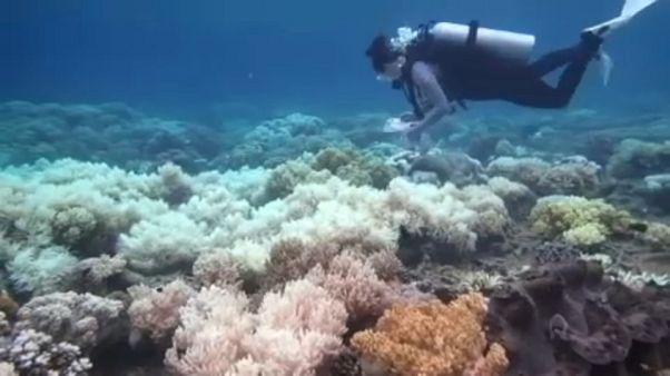 Utolsó pillanat a kifehéredő korallok mentésére