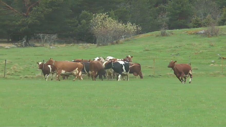 شاهد: أبقار ترقص ابتهاجاً بانتهاء فصل الشتاء بالسويد