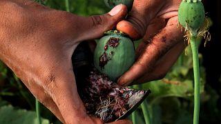 الأفغان يتعلقون بزراعة الخشخاش لما تغدقه عليهم من أرباح