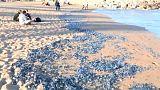 Invasión de medusas en las playas de Barcelona y Tarragona