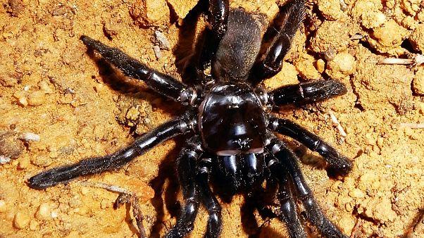 Muerte de la araña más longeva del mundo a los 43 años