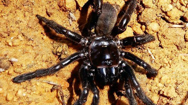 عنکبوت بیوه سیاه که ۴۳ سال عمر کرد