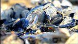 Des cousines des méduses par milliers sur les plages de Catalogne