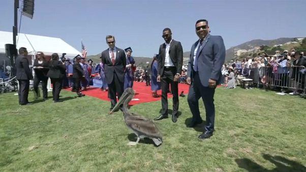 Mezuniyet töreni pelikanların baskınına uğradı