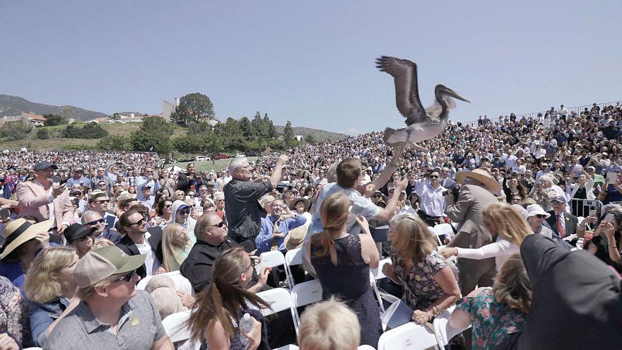 Kalifornien: 2 Pelikane stürzen auf Abschlussfeier