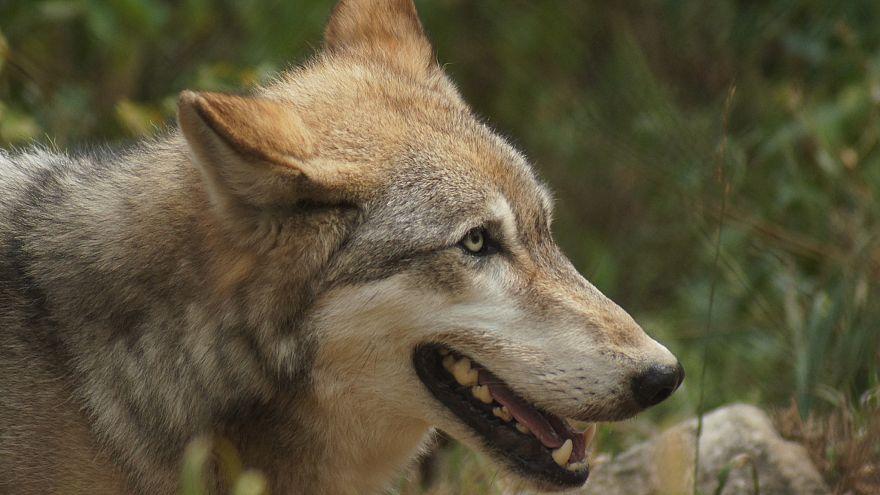 Bild eines Wolfes von David Williss