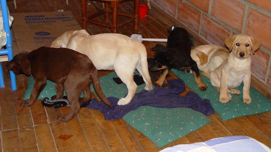 Bíróságon az állatorvos, aki kutyakölyköket használt heroincsempészésre