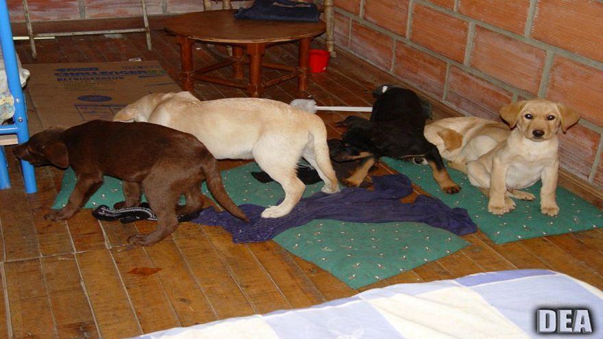 بيطري كولومبي يهرب المخدرات إلى أمريكا في أحشاء كلاب