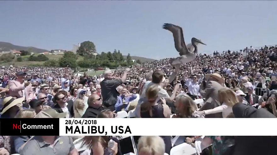Etats-Unis : deux pélicans s'incrustent lors d'une cérémonie de remise de diplômes