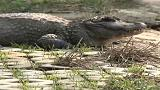 شاهد: الصين تطلق تماسيح مهددة بالانقراض في بيئتها الطبيعية