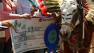 المكسيك.. مسابقة لتكريم الحمير الكادحة في يوم العمال