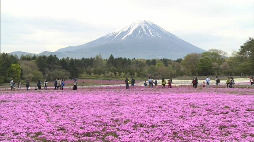 Um jardim rosa vivo aos pés do Monte Fuji