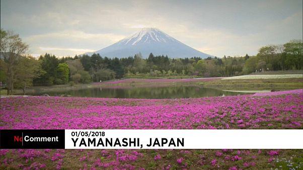 Au pied du Mont Fuji, un splendide festival floral
