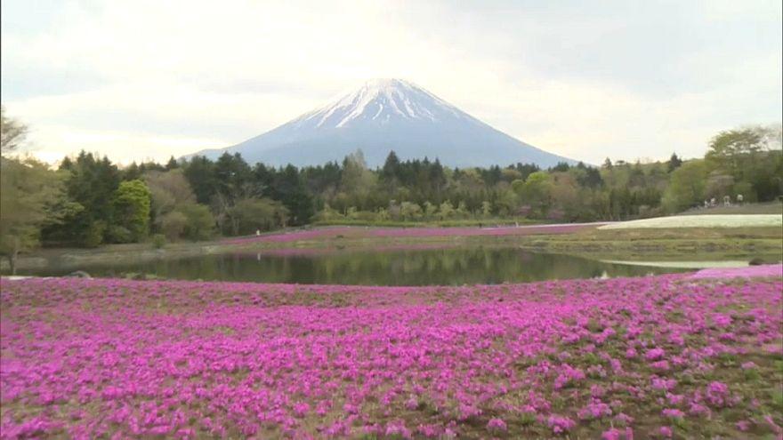 Fuji Dağı manzaralı çiçek tarlasına yoğun ilgi