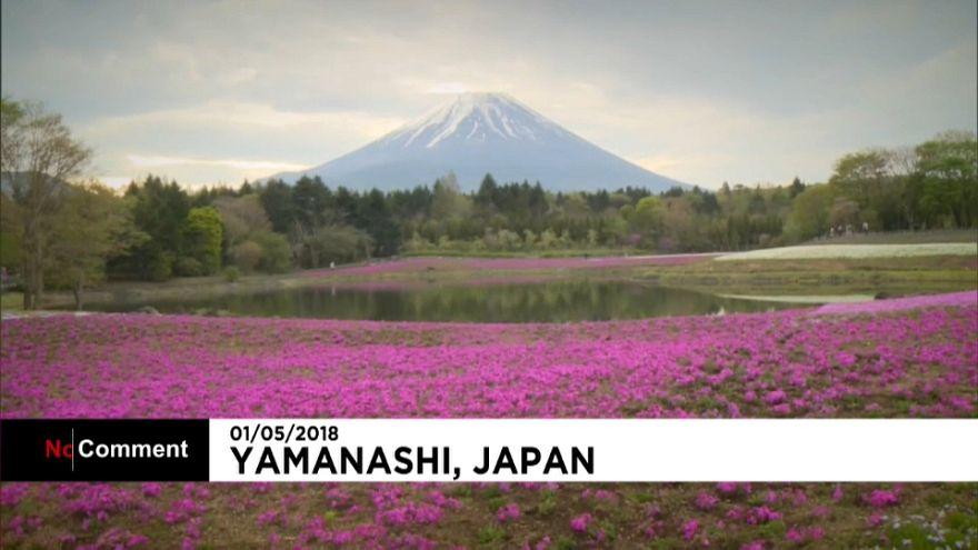 Розовый рай у Фудзиямы