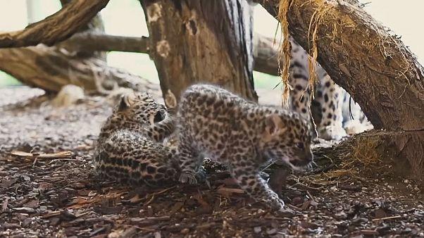 2 kleine Amurleoparden: Süßer Nachwuchs in Wien