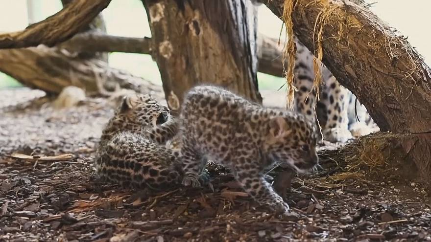 Новорожденные леопарды в Вене