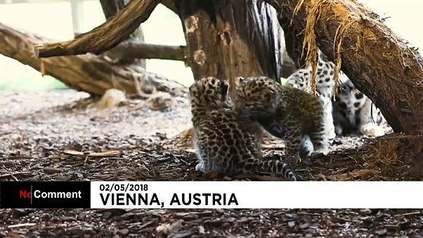 Autriche : naissance de deux léopards de l'Amour au zoo de Vienne