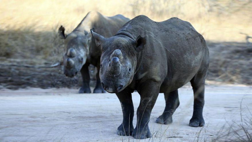شاهد: بعد غياب 50 عاما، وحيد القرن الأسود يعود إلى تشاد