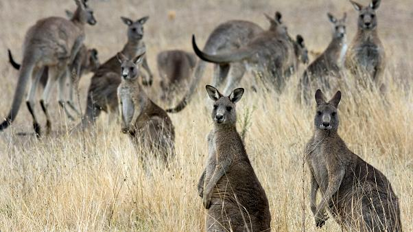 إدمان الكنغر على الجزر في أستراليا يحوله إلى عدواني شرس