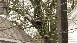 ΗΠΑ: Αρκούδα σκαρφάλωσε σε δέντρο