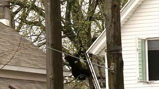 شاهد: عملية انقاذ دب عالق على شجرة في الولايات المتحدة الأمريكية