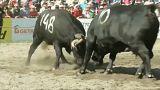 شاهد: قتال الأبقار السويسرية للتويج بلقب الملكة
